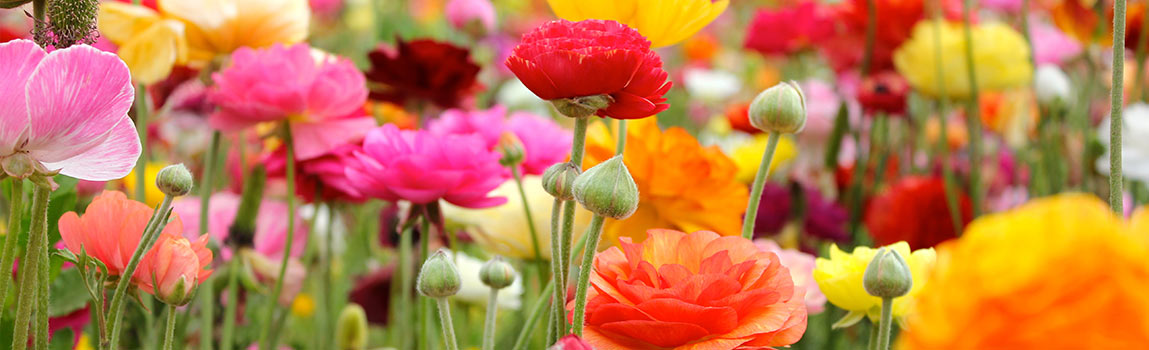 How To Grow Ranunculus Breck S