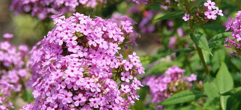 12 Full Sun Perennials That Bloom All Summer Breck S