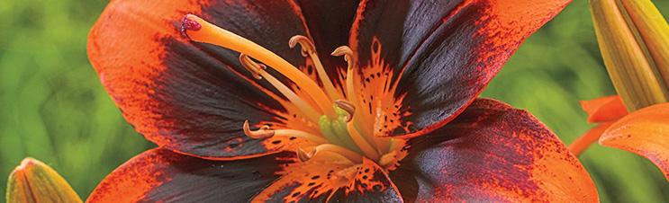 Easy Samba Asiatische Lilie liefert im Frühsommer beeindruckende Farben.