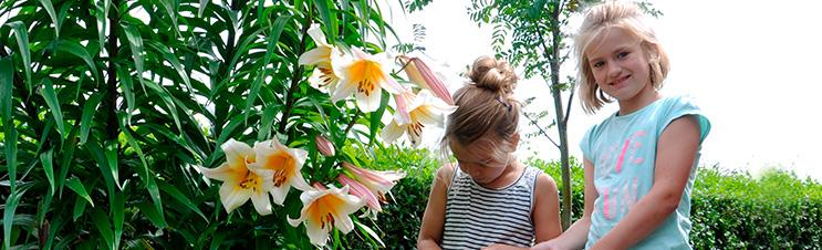 Lilienbäume, wie der Hohe Teelilienbaum, sind eine ausgezeichnete Wahl für die Rückseite von sonnigen Rabatten.