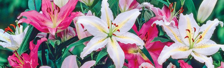 Wenn Sie Lilienzwiebeln pflanzen, erhalten Sie wunderschöne Blüten