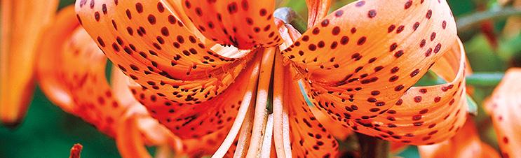 Die orangefarbene Tigerlilie bietet kräftige Farben und dramatische Flecken.