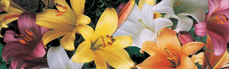 Trompetenlilien, wie diese Trompetenlilien-Mischung, beeindrucken Gartenbesucher mit ihren Blüten.