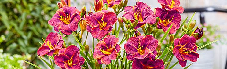Taglilien wie die Rote Taglilie Younique sind keine echten Lilien.